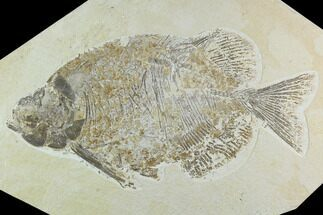 "Buy Bargain, 13"" Phareodus Fossil Fish - Scarce Species - #122656"