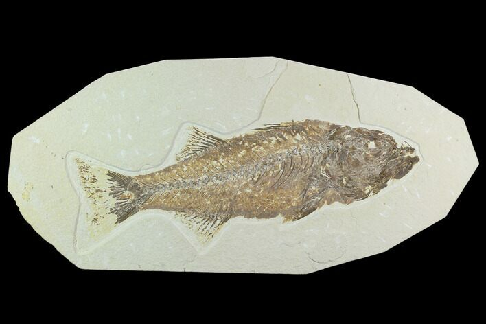 "11.5"" Uncommon, Fossil Fish (Mioplosus) - Wyoming"