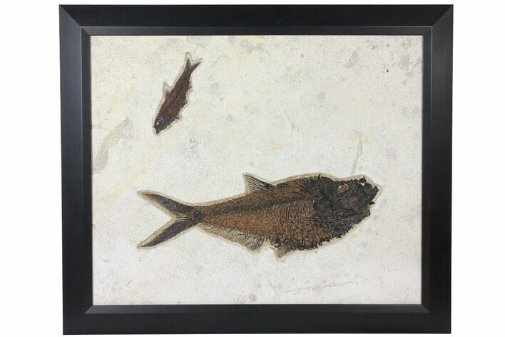 "26"" Framed Fossil Fish Plate (Diplomystus & Knightia) - Wyoming"