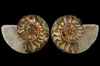 Cleoniceras - Fossils For Sale - #122406