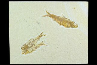 Buy Three Fossil Fish (Knightia) - Green River Formation, Wyoming - #122767