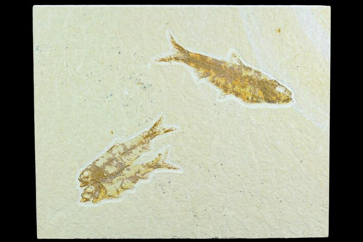 Three Fossil Fish (Knightia) - Green River Formation, Wyoming