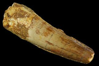 "2.0"" Spinosaurus Tooth - Real Dinosaur Tooth For Sale, #117680"
