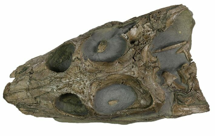 "Incredible, 8"" Lower Jurassic Crocodile Skull - North Whitby, England"