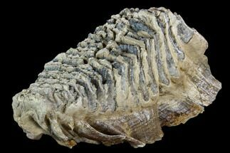 "11.2"" Fossil Woolly Mammoth Lower M3 Molar - North Sea Deposits For Sale, #123644"