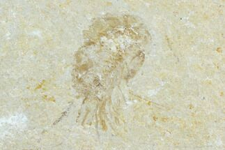 Carpopenaeus callirostris - Fossils For Sale - #123891