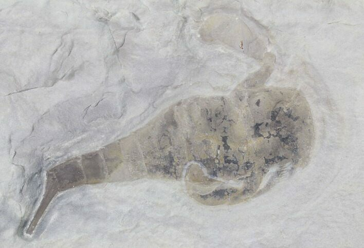 "2.9"" Eurypterus (Sea Scorpion) Fossil - New York"
