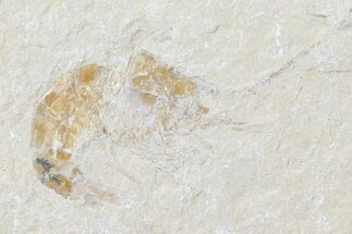 "1.4"" Cretaceous Fossil Shrimp (Carpopenaeus) - Lebanon For Sale, #123866"