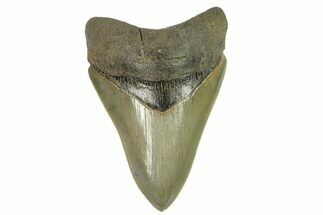 "Serrated, 4.01"" Fossil Megalodon Tooth - South Carolina For Sale, #124199"