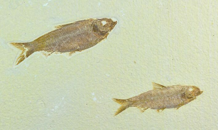 Two Fossil Fish (Knightia) - Green River Formation, Wyoming