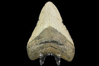 "Buy 4.12"" Fossil Megalodon Tooth - North Carolina - #124645"