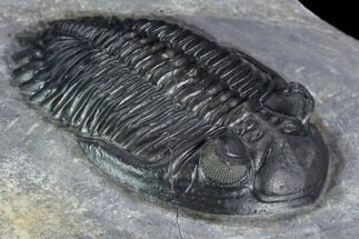 "Buy 2"" Detailed Hollardops Trilobite - Top Quality Example - #125221"