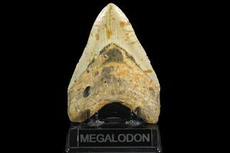 "Buy Huge, 5.50"" Fossil Megalodon Tooth - North Carolina - #124951"