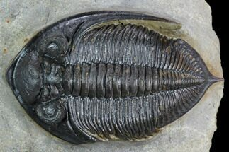 "Buy 2.2"" Zlichovaspis Trilobite With Healed Injury  - #125272"