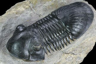 "3.05"" Paralejurus Trilobite - Atchana, Morocco For Sale, #125273"