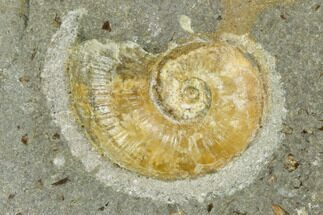 ".75"" Agatized Ammonite (Lytoceras) Fossil in Rock - Mistelgau, Germany For Sale, #125435"