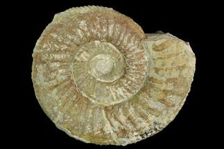 Orthosphinctes (Lithacosphinctes) sp. - Fossils For Sale - #125616