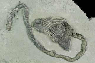 "5.5"" Crinoid (Platycrinites) Fossil - Crawfordsville, Indiana For Sale, #125915"