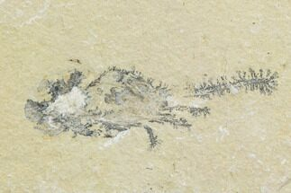 Carpopenaeus callirostris - Fossils For Sale - #123903