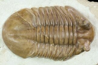 "Huge, 4.2"" Asaphus Cornutus Trilobite - Russia For Sale, #126128"