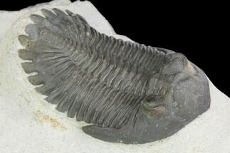 Hollardops merocristata - Fossils For Sale - #126288