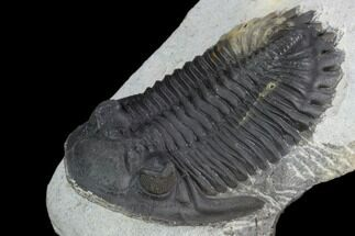 "2.5"" Detailed Hollardops Trilobite - Ofaten, Morocco For Sale, #126299"