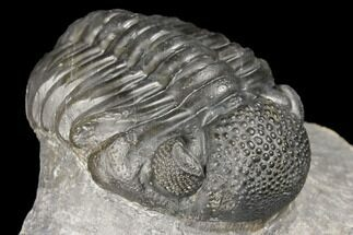 "2.7"" Pedinopariops Trilobite - Mrakib, Morocco For Sale, #126329"