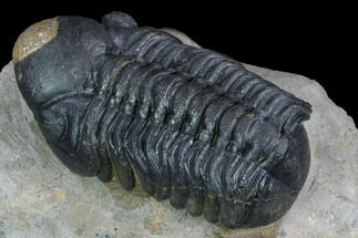 "Detailed 3"" Reedops Trilobite - Atchana, Morocco For Sale, #126314"