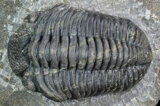 "2.8"" Pedinopariops Trilobite - Mrakib, Morocco For Sale, #126317"