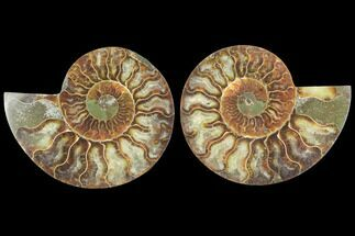 Cleoniceras - Fossils For Sale - #125028