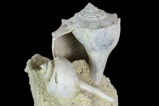 "3.8"" Tall, Miocene Fossil Gastropod Cluster - France For Sale, #113672"