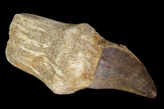 "2.3"" Fossil Rooted Mosasaur (Prognathodon) Tooth - Morocco For Sale, #116957"