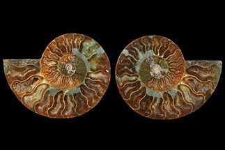 Cleoniceras - Fossils For Sale - #125034
