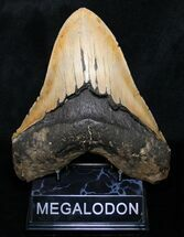 "Buy Monster 6.13"" Megalodon Tooth From North Carolina - #8776"