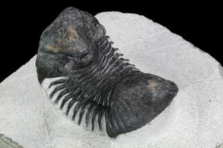 "Buy Bargain, 2.2"" Paralejurus Trilobite - Morocco - #126919"