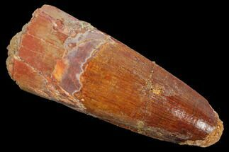 "2.04"" Spinosaurus Tooth - Real Dinosaur Tooth For Sale, #127538"