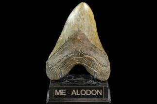 "5.36"" Fossil Megalodon Tooth - South Carolina For Sale, #127739"