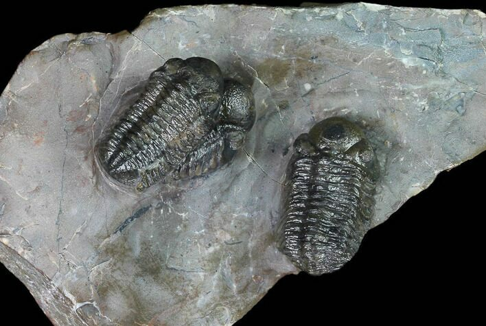 Cluster Of Three Austerops Trilobite - Jorf, Morocco