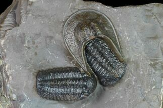 Two Austerops Trilobites With Harpid Headshield - Jorf, Morocco For Sale, #127736
