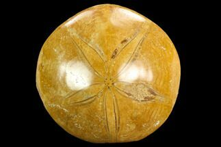 "Buy 3.1"" Polished Fossil Sand Dollar (Mepygurus) - Jurassic - #127357"
