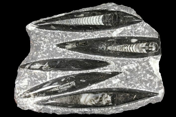 "9"" Polished Fossil Orthoceras (Cephalopod) Plate - Morocco"