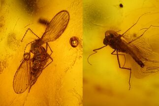 Two Fossil Flies (Diptera) In Baltic Amber For Sale, #128348