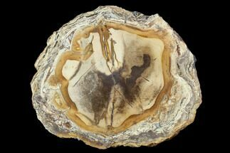 "7.8"" Polished Petrified Wood Slab - Sweethome, Oregon For Sale, #128599"