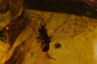 Detailed Fossil Lacewing (Neuroptera) In Amber - Myanmar For Sale, #129011