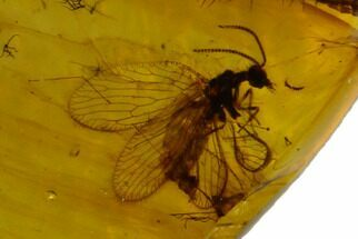 Order Neuroptera (Lacewing) & Order Blattodea (Cockroach) - Fossils For Sale - #129015
