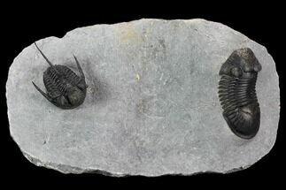 Paralejurus & Cyphaspis Trilobite Association - Top Quality For Sale, #129089
