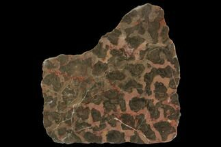 "3"" Polished Stromatolite (Inzeria) Slab - 800 Million Years For Sale, #129176"