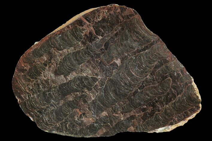 "7.9"" Polished Stromatolite (Inzeria) Slab - 800 Million Years"
