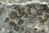 "6.4"" Ammonite (Promicroceras) Cluster - One Side Polished - #129287-3"