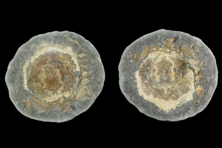 "4.3"" Fossil Crab (Trichopeltarion) Nodule (Pos/Neg) - New Zealand"